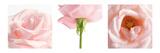 Triptyque de rose rose Photographie