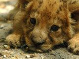 Lion Cub, Budapest, Hungary Stampa fotografica di Bela Szandelszky