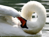 Swan on the river Rhine near Breisach, Germany Fotografisk tryk af Winfried Rothermel