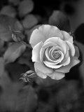 Delicate Petals III Foto von Nicole Katano