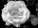 Delicate Petals I Photo by Nicole Katano
