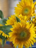Sunny Sunflower II Photo by Nicole Katano