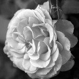 Delicate Petals II Photo by Nicole Katano