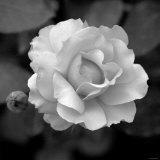 Sweet Rose II Photo by Nicole Katano