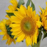 Sunny Sunflower IV Photo by Nicole Katano