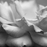 Rose Petals II Photo by Nicole Katano