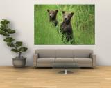 Alaskan Brown Bear Cubs Wait in Long Grass for Their Mother Vægplakat af Michael Melford