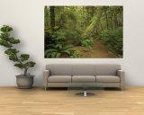 A Trail Cuts Through Ferns and Shrubs Covering the Rain Forest Floor Vægplakat af Jim Sugar