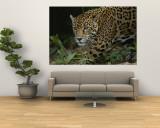 A Close View of a Captive Jaguar, Panthera Onca Vægplakat af Tim Laman