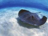 Stingray City, Grand Cayman, Cayman Islands, Caribbean Fotografisk trykk av Greg Johnston