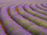 Curved Rows of Lavender near the Village of Sault, Provence, France Fotografisk trykk av Jim Zuckerman