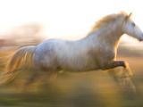 White Camargue Horse Running, Provence, France Fotografisk trykk av Jim Zuckerman