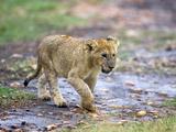 Lion Cub Walking in the Bush, Maasai Mara, Kenya Stampa fotografica di Joe Restuccia III