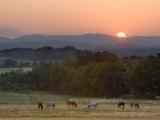 Horses Graze at Sunrise, Provence, France Fotografisk trykk av Jim Zuckerman