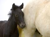 Detail of White Camargue Mother Horse and Black Colt, Provence Region, France Fotografisk tryk af Jim Zuckerman