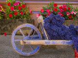Old Wooden Cart with Fresh-Cut Lavender, Sault, Provence, France Fotografisk trykk av Jim Zuckerman
