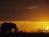 Elephant Grazing at Sunset, Tarangire National Park, Tanzania Photographic Print by John & Lisa Merrill