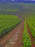 Vines in Grand Cru Vineyards, Romanee Conti and Richebourg Leading to La Romanee, Vosne Lámina fotográfica por Per Karlsson