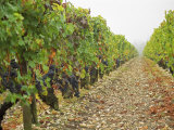 Cabernet Sauvignon Vines with Grapes, Chateau Du Tertre, Margaus, Medoc, Bordeaux, Gironde, France Photographic Print by Per Karlsson