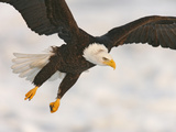 Bald Eagle in Landing Posture, Homer, Alaska, USA 写真プリント : アーサー・モーリス