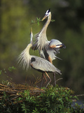 Great Blue Herons in Courtship Display at the Venice Rookery, South Venice, Florida, USA Photographic Print by Arthur Morris