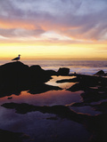 Seagull at Sunset Cliffs Tidepools on the Pacific Ocean, San Diego, California, USA Photographic Print by Christopher Talbot Frank