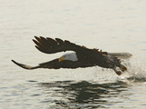Bald Eagle Seeking to Catch a Fish, Homer, Alaska, USA 写真プリント : アーサー・モーリス