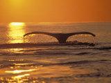 Humpback Whale Fotografie-Druck von Amos Nachoum