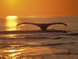 Humpback Whale Photographic Print by Amos Nachoum