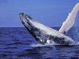 Humpback Whale Breaching, Dominican Republic, Caribbean Photographic Print by Amos Nachoum