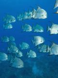 Atlantic Spadefish, Hol Chan Marine Park, Ambergris Caye, Barrier Reef, Belize Fotografisk tryk af Stuart Westmoreland