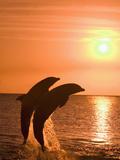 Bottlenose Dolphins, Caribbean Sea Reproduction photographique par Stuart Westmoreland