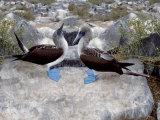Blue-Footed Boobies in Skypointing Display, Galapagos Islands, Ecuador Reproduction photographique par Jim Zuckerman