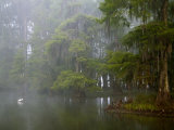 Great Egret Reflected in Foggy Cypress Swamp, Lake Martin, Louisiana, USA Photographic Print by Arthur Morris