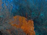 Deep Water Sea Fan and Encrusting Orange Sponge, Hol Chan Marine Preserve, Barrier Reef, Belize Photographic Print by Stuart Westmoreland