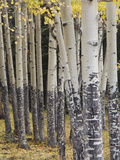 Quaking Aspen in Fall, Rocky Mountain National Park, Colorado, USA Photographic Print by Rolf Nussbaumer