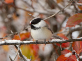 Adult Black-capped Chickadee in Snow, Grand Teton National Park, Wyoming, USA Reproduction photographique par Rolf Nussbaumer