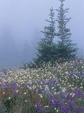 Lupine and Bistort Meadow, Hurricane Ridge, Olympic National Park, Washington, USA Photographic Print by Jamie & Judy Wild