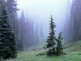 Fir Trees and Fog, Mt. Rainier National Park, Washington, USA Fotografie-Druck von Jamie & Judy Wild