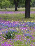 Agave in Field of Texas Blue Bonnets, Phlox and Oak Trees, Devine, Texas, USA Stampa fotografica di Gulin, Darrell