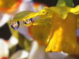 Close-up of Dewdrops Clinging to Petal of Daffodil Flower in Springtime, Multnomah County, Oregon Photographic Print by Steve Terrill