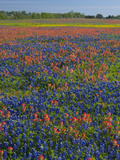Field of Texas Blue Bonnets and Indian Paintbrush, Texas Hill Country, Texas, USA Photographic Print by Darrell Gulin