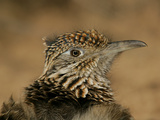 Head Portrait of Great Roadrunner, Bosque Del Apache National Wildlife Reserve, New Mexico, USA Reproduction photographique par Arthur Morris