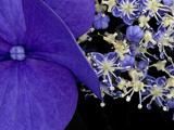 Close-up of Hydrangea, Seattle, Washington, USA Photographic Print by Nancy & Steve Ross