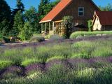 Lavender Field and Gift Shop, Sequim, Washington, USA Photographic Print by Jamie & Judy Wild
