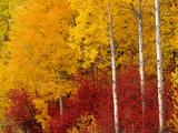 Aspen Trees in Autumn, Wenatchee National Forest, Washington, USA Fotografie-Druck von Jamie & Judy Wild