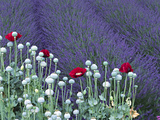 Lavender Field and Poppies, Sequim, Olympic National Park, Washington, USA Photographic Print by Charles Sleicher