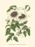 Blossoming Vine VI Posters by Sydenham Teast Edwards