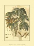Antique Sycamore Tree Plakater av  John Miller (Johann Sebastien Mueller)