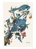Blauwe gaaien op tak Poster van John James Audubon